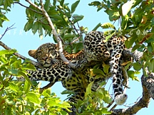 1. SOUTH AFRICA PROVIDES PERSONALIZED WILDLIFE WATCHING, PHOTOGRAPHIC AND CONSERVATION SAFARIS